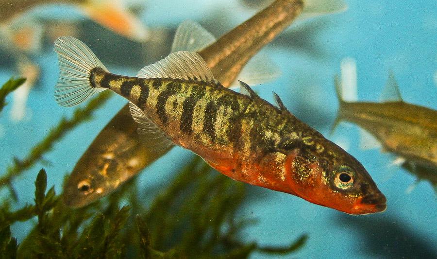 einheimische fische hobby gartenteich